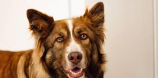 jak zabezpieczyć psa przed pchłami